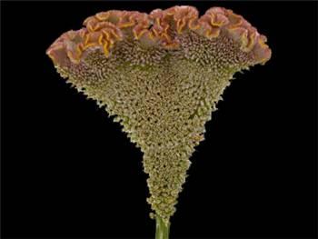Fisal Amaranthaceae