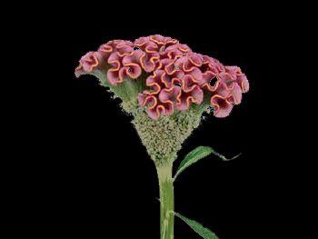 Pink HFC Amaranthaceae