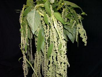 Green Hanging Amaranthus