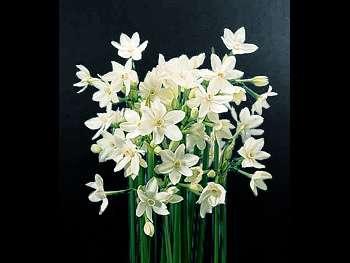 Paper White Amaryllidaceae