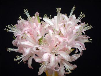 Aristocrat Amaryllidaceae