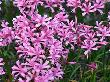 Bowdenii Amaryllidaceae