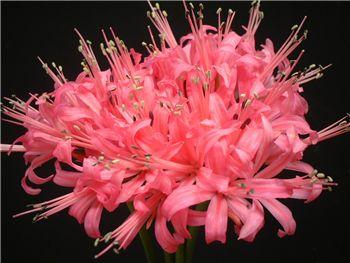 Nena Amaryllidaceae