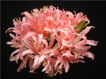 Pamela Amaryllidaceae
