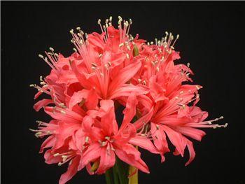 Red Emperor Amaryllidaceae