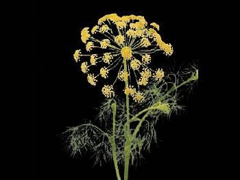 Graveolens HFC Apiaceae