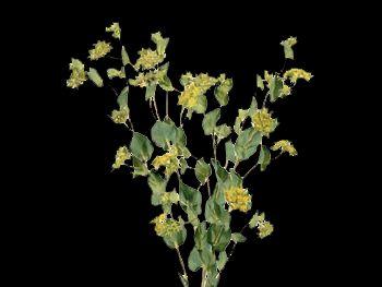 Griffithii HFC Apiaceae