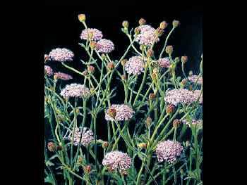 Blue Lace Apiaceae