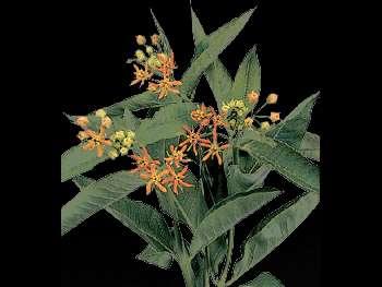 Beatrix HFC Apocynaceae