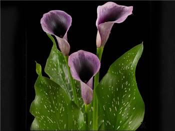 Akela Araceae