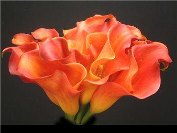 Brilliance Araceae