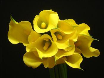 Elliotiana Araceae