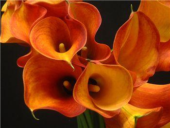 Firelight Araceae