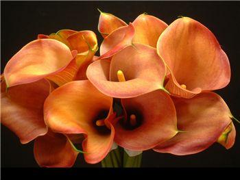 Flame Araceae
