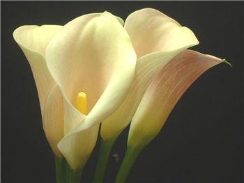 Harmony Araceae