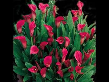 Lipstick Araceae