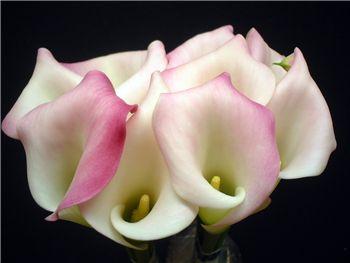 Little Suzie Araceae