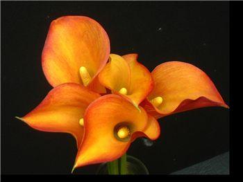 Neroli Araceae