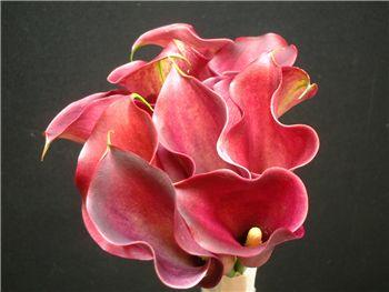 Pink Persuasion Araceae