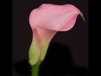 Posey Brisbane Araceae