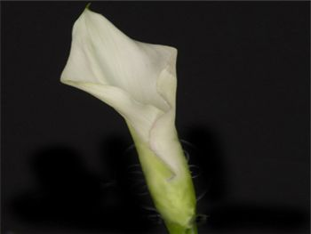 Posey Crystal Blush Araceae