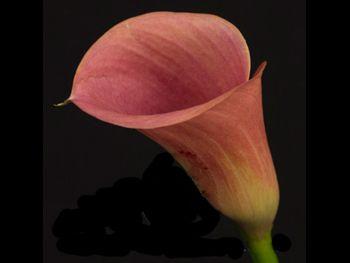 Posey Dark Mozart Araceae