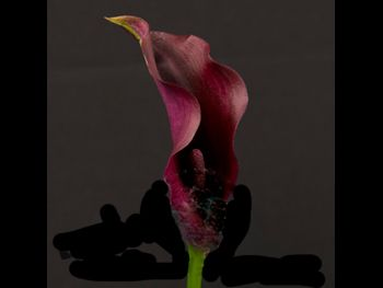 Posey Dark Naomi Araceae
