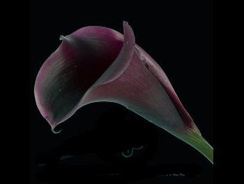 Posey Hot Chocolate Araceae