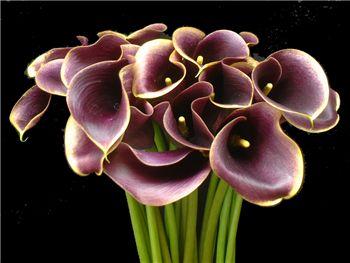 Purple Haze Araceae