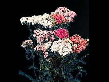 Cottage Asteraceae