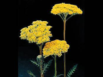 Fernleaf Asteraceae