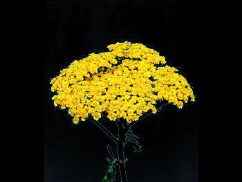 Moonshine HFC Asteraceae