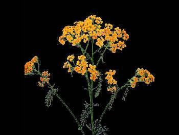 Terra Cota HFC Asteraceae