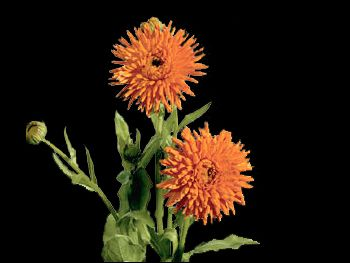 Orange HFC Asteraceae