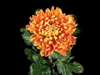 Astro HFC Asteraceae