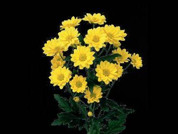 Barney HFC Asteraceae