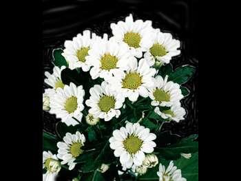 Blizzard HFC Asteraceae