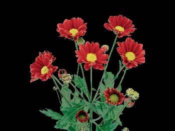 Cantona HFC Asteraceae
