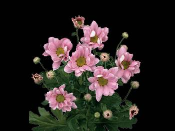 Classic HFC Asteraceae