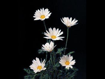 Daisy Margarite Asteraceae