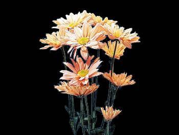 Daisy Peach Asteraceae