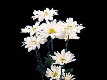 Daisy White Asteraceae