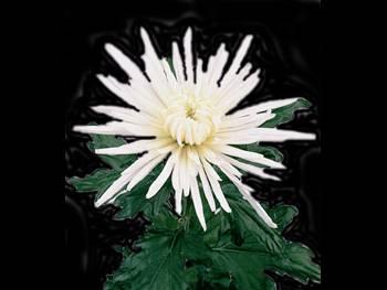 Delstar White Asteraceae