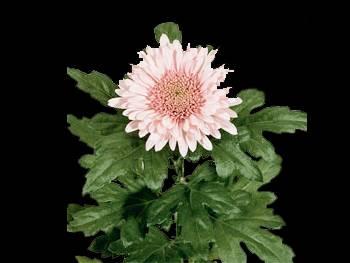 Elanora Lilac HFC Asteraceae
