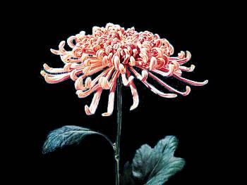 Fuji Lavender Asteraceae