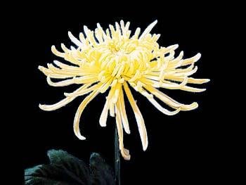 Fuji Yellow Asteraceae