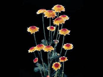 Funray Asteraceae