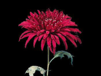 King Asteraceae