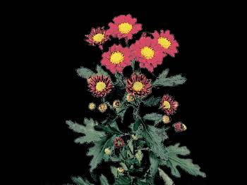 Limoges Dark HFC Asteraceae