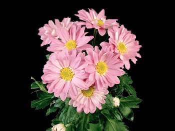 Reagan Dark Splendid HFC Asteraceae